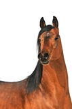Bay arabian horse portrait on white Stock Photography