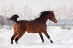 Bay arabian horse runs free in winter royalty free stock photos
