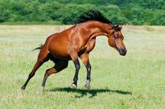Bay arabian horse runs gallop. Bay arabian horse stallion runs gallop Royalty Free Stock Images