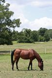 Bay Arabian Mare Stock Photos