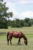 Bay Arabian Mare. Bay mare grazing in pasture Stock Photos