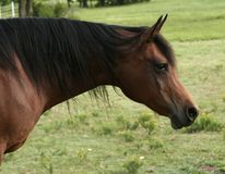 Bay Arabian Mare. Bay mare grazing in pasture Royalty Free Stock Photography