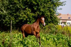 Bay arabian mare galloping at the pasture. In summer Stock Images