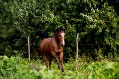 Bay arabian mare galloping at the pasture Stock Images