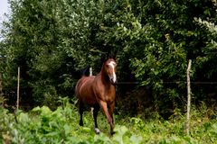 Bay arabian mare galloping at the pasture. In summer Stock Photo