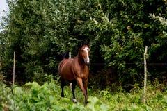Bay arabian mare galloping at the pasture Stock Photo