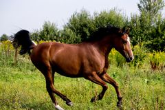 Bay arabian mare galloping at the pasture. In summer Royalty Free Stock Image