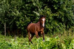 Bay arabian mare galloping at the pasture. In summer Royalty Free Stock Photos