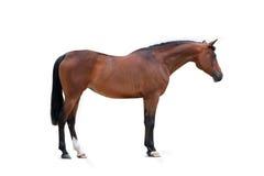 Bay arabian mare isolated Stock Photography