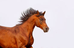 Bay arabian stallion Royalty Free Stock Images