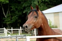 Bay Arabian Stallion Royalty Free Stock Photos