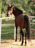Bay Arabian Stallion. Bay Stallion Royalty Free Stock Photo