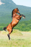Bay arabian stallion rearing Stock Image