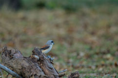 Bay-backed Shrike Bird perching on a branch Royalty Free Stock Images