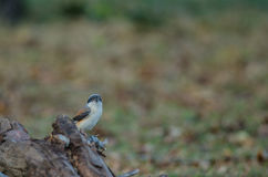 Bay-backed Shrike Bird perching on a branch Stock Image