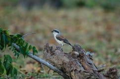 Bay-backed Shrike Bird perching on a branch Royalty Free Stock Photo