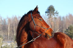 Bay beautiful holsteiner horse portrait Stock Photography