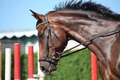 Bay beautiful sport horse with bridle portrait. Bay beautiful latvian breed sport horse with bridle portrait Stock Photos
