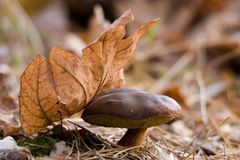 The Bay bolete Royalty Free Stock Image