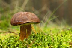 Bay Bolete (Boletus badius) Stock Photo