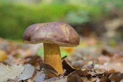 Bay bolete - Boletus badius Royalty Free Stock Photography