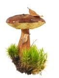 Bay Bolete - Boletus badius in moss with forest slug. Brown  Bay Bolete in a clump of moss, slug crawling with a fallen leaf on white background Royalty Free Stock Photos