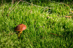 A bay bolete in the forest Royalty Free Stock Images