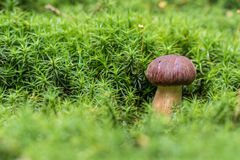 Bay Bolete (Imleria Badia) Mushroom In Green Moss Stock Photo