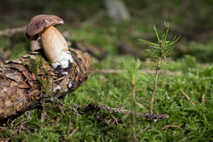 Bay bolete. Mushroom Bay bolete - Xerocomus budius - in the forest Royalty Free Stock Photos