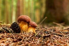 Bay bolete twins (Boletus badius, Xerocomus badius). Bay bolete (Boletus badius, Xerocomus badius) in forest Royalty Free Stock Photography