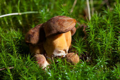 Bay boletus Stock Image