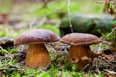 Bay boletus Royalty Free Stock Photo