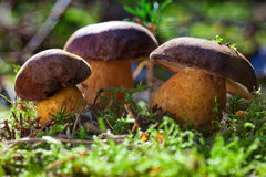 Bay boletus family Royalty Free Stock Photo