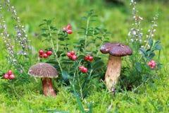 Bay boletus, heather and lingonberries Stock Image