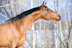 Bay Budenny horse portrait in winter time royalty free stock photography