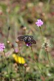 Bay Checkerspot Butterfly on a Pink Flower. A Bay Checkerspot Butterfly resting on a pink flower Royalty Free Stock Image