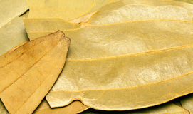 Bay or cinnamn leaves or tejpata Royalty Free Stock Photos
