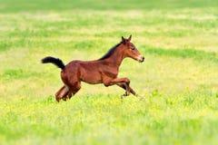 Bay clot run. Bay foal run gallop on spring pasture Stock Image