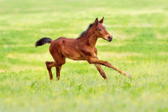 Bay clot run. Bay foal run gallop on spring pasture Royalty Free Stock Images