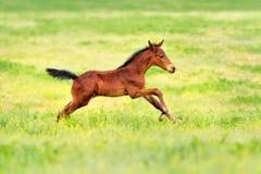 Bay clot run. Bay foal run gallop on spring pasture Royalty Free Stock Photo