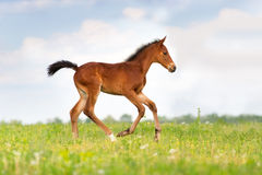 Bay clot run. Bay foal run gallop on spring pasture Royalty Free Stock Images