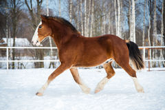Bay color draft horse runs trot in winter time. Bay color draft horse runs trot royalty free stock photo