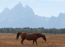 Bay colored Horse in front of Mount Moran in Grand Teton National Park in Wyoming Royalty Free Stock Images