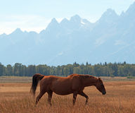 Bay colored Horse in front of Mount Moran in Grand Teton National Park in Wyoming Stock Image