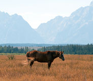 Bay colored Horse in front of Mount Moran in Grand Teton National Park in Wyoming Royalty Free Stock Photography