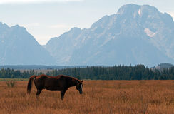 Bay colored Horse in front of Mout Moran in Grand Teton National Park in Wyoming Stock Images