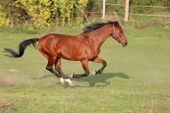 Bay colored purebred yearling horse galloping on the meadow Stock Photo