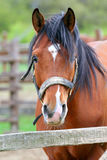Bay colored young stallion portrait Stock Photography