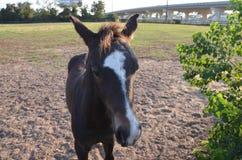 Bay colt Royalty Free Stock Image
