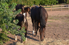 Bay colt with mother. A yount bay colt standing in a field eating hay next to his mother Royalty Free Stock Image